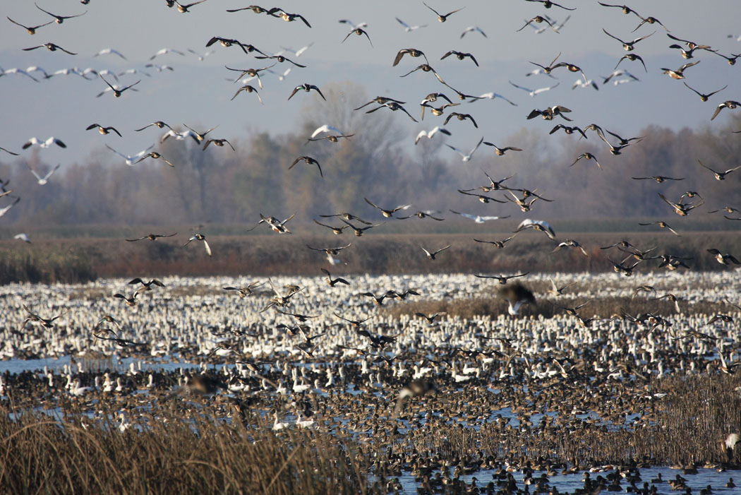 80102a143ead0 Waterfowl Hunting Regulations Set for 2015-2016 Season | CDFW News